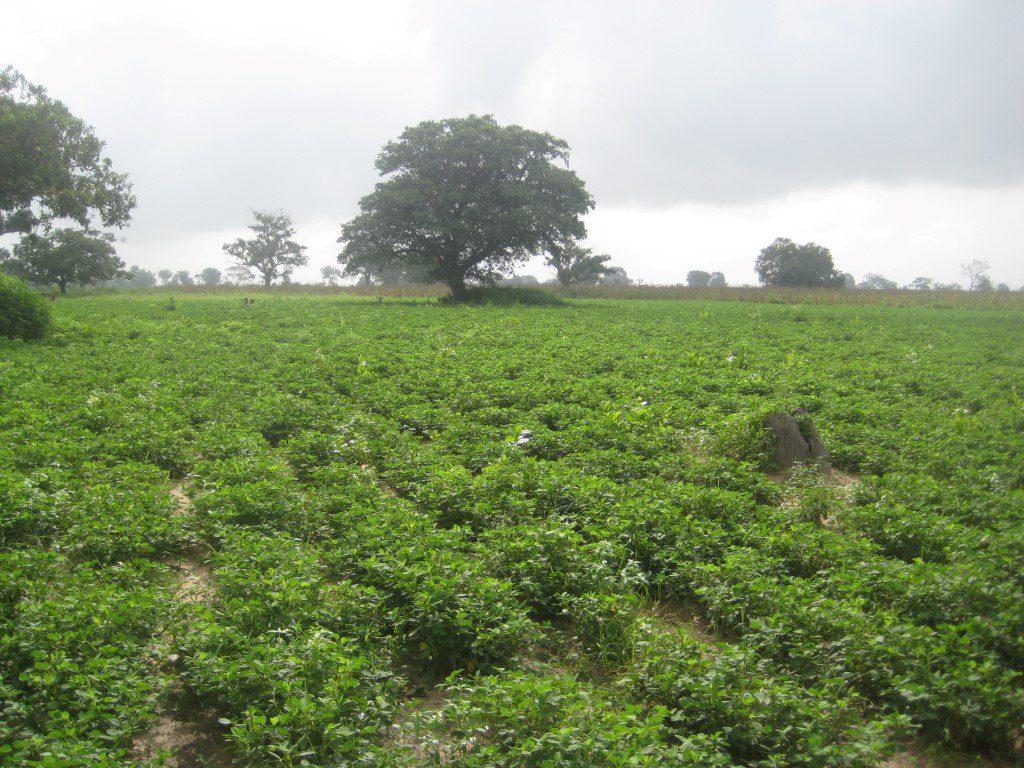 Pinda veld binnenland
