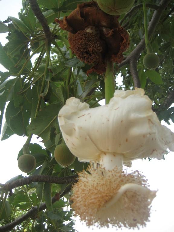 Bloem van de Baobab boom