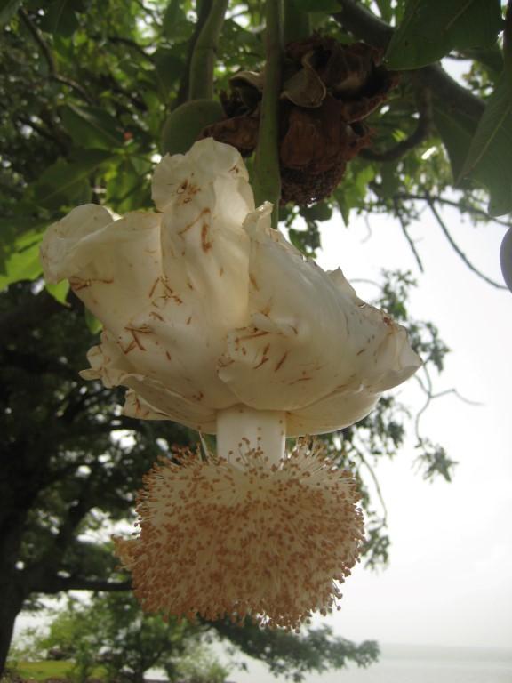 Bloem van de Baobab vrucht