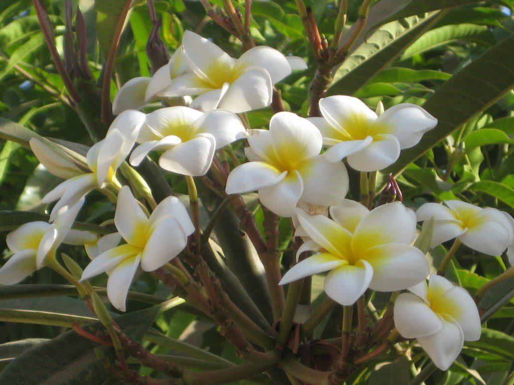 Frangipani bloem