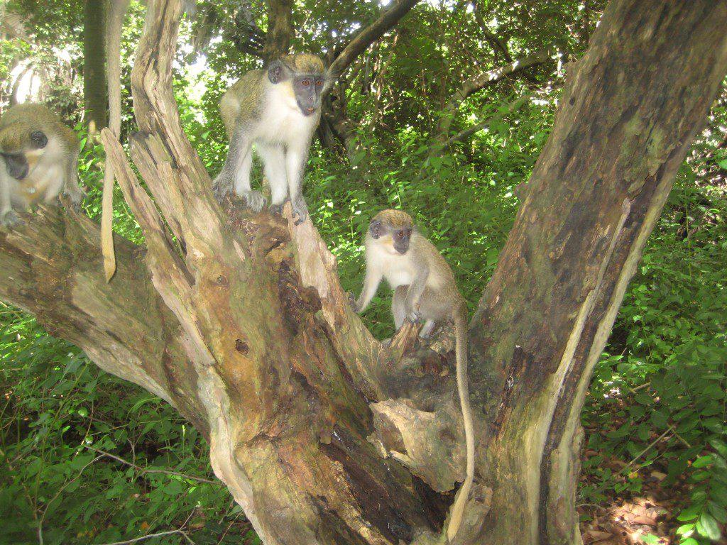 Apen in het apenbos